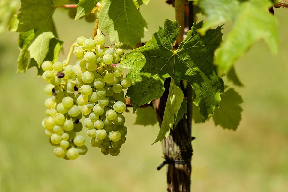 grapes-1611089_960_720