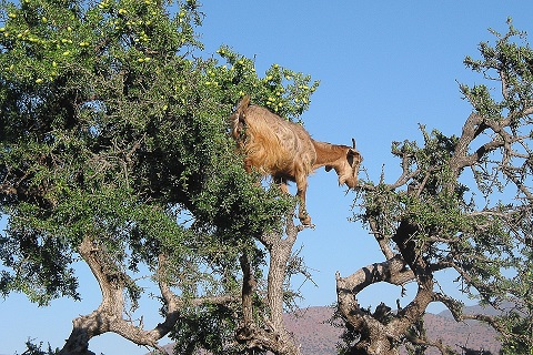 Ziege-auf-Arganbaum