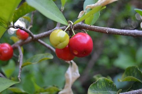 Acerola-Pulver-aus-ganzen-Acerolakirschen