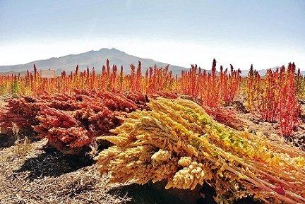 bio-quinoa-pflanze-anbau