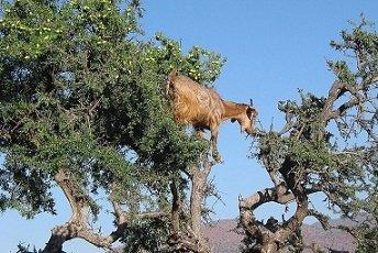 Arganoel-Baum-mit-Ziegen