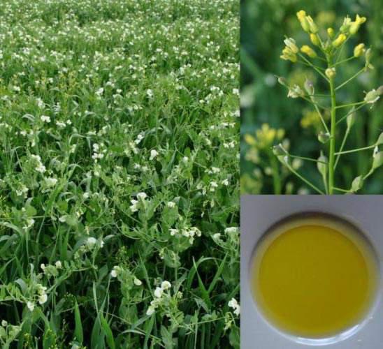 Leindotteröl (Camelina Sativa), kaltgepresst, hoher Omega-3 Gehalt angenehmer Geschmack
