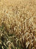 kaltgepresste Pflanzenöle Weizenkeimöl, kaltgepresst, kaufen