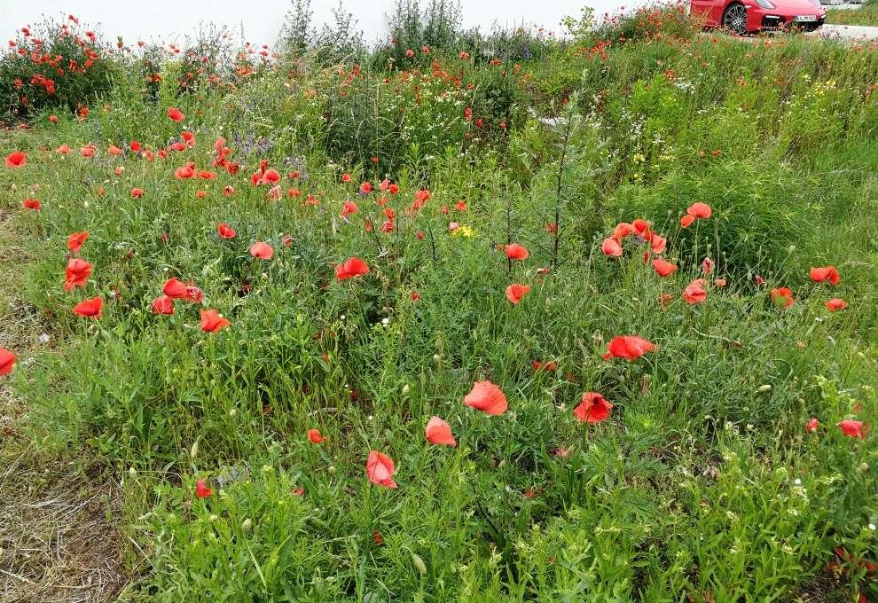 Blühende Wiese statt Rasen oder Steinwüste