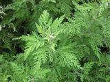 Vitaltees & Kräuter Eberraute (Artemisia abrotanum), kaufen