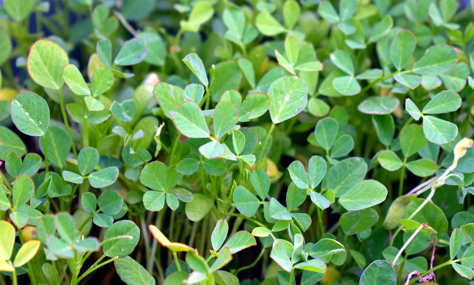 fenugreek-2965214_960_720