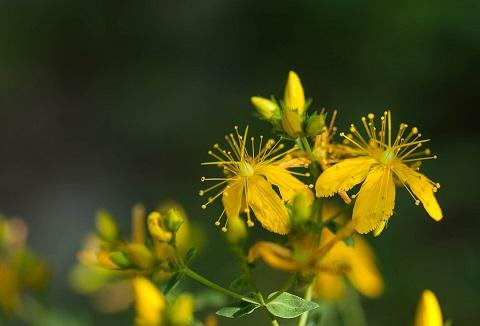 Johanniskraut-Tee-aus-der-getrockneten-Pflanze
