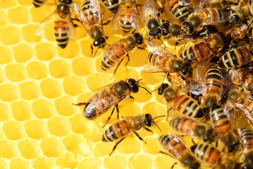 Ohne Bienen kein Propolis Pulver