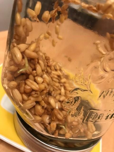 Sprossen aus Khorasan Getreide