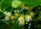 Lindenblüten silber (Tilia tomentosa), kaufen