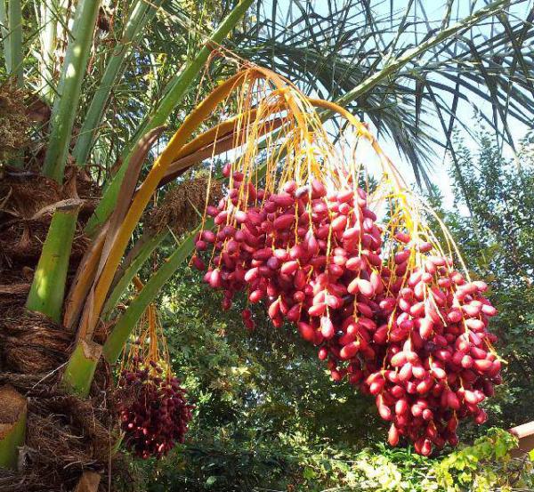 Datteln, ohne Stein, natur, bio kbA - deglet nour - eine basische Energiequelle