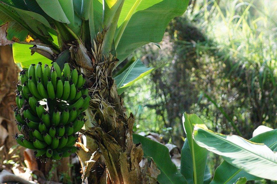 banana-2192128_960_720