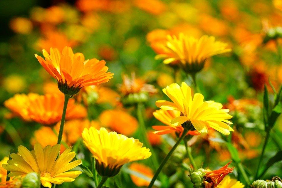 Ringelblumentee aus den Blüten der Ringelblume