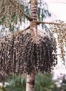 Acai Pulver aus brasilianischen Bio-Acai-Beeren